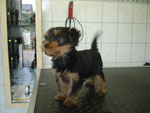 �Luna | Yorkshire Terrier